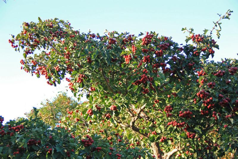 生态走廊上的红果树果实累累