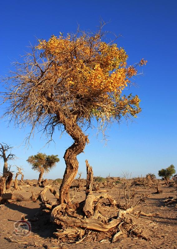 """不朽的记忆""""沙漠胡杨自驾之旅""""(七)——神秘的怪树林"""