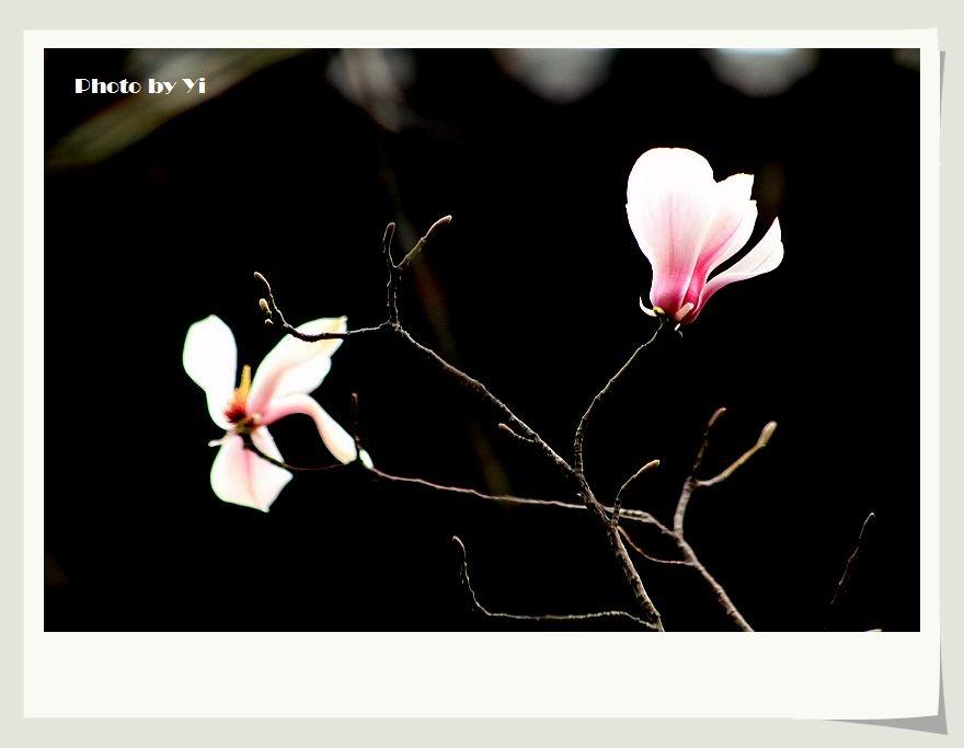 春风拂过,花朵在不同层次摇弋生姿,但短暂的花期却使得大朵大朵的玉兰