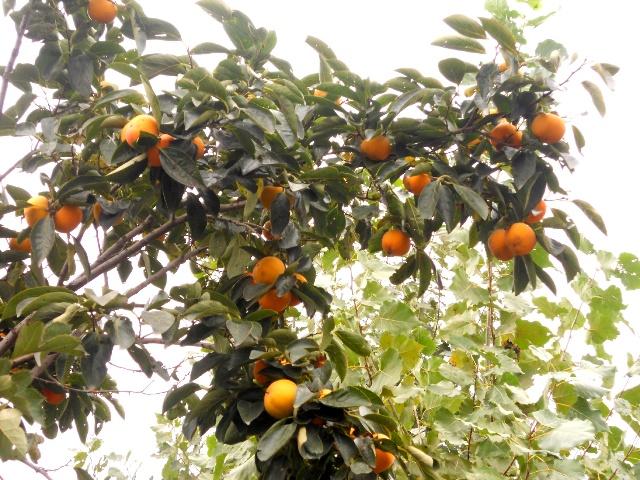 实拍秋天的果园里