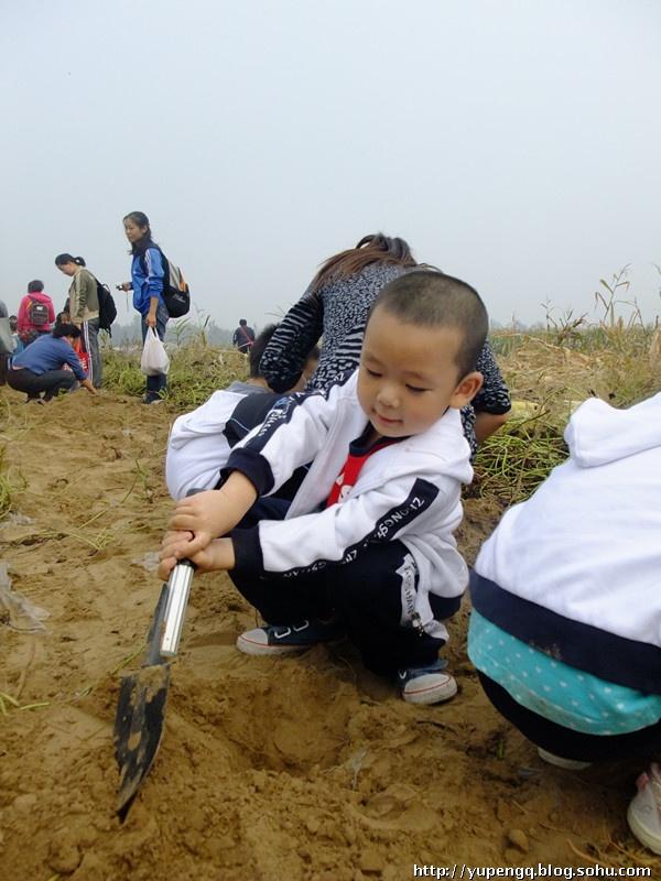 嘟幼儿园组织去大兴采摘(大人60元,小孩50元),采摘内容:红薯,白萝卜图片