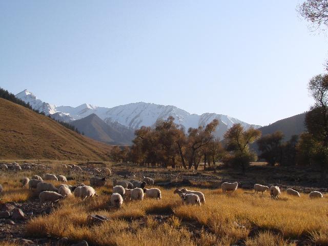 黄昏,雪山山谷里的羊群.