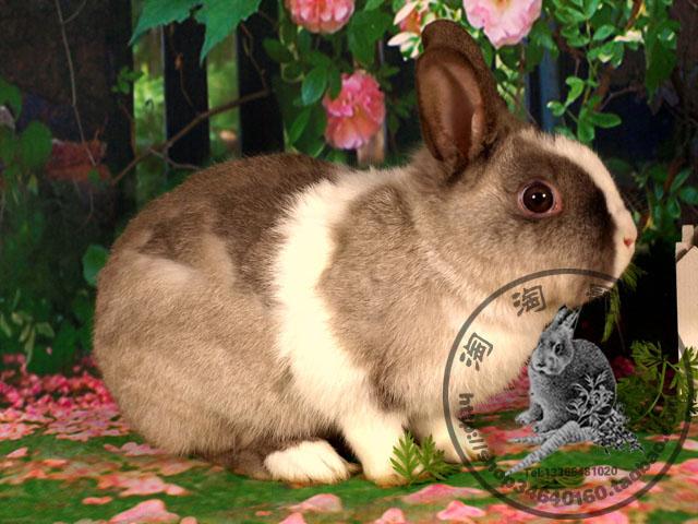 后背深色的毛,是被别的兔子咬掉了!