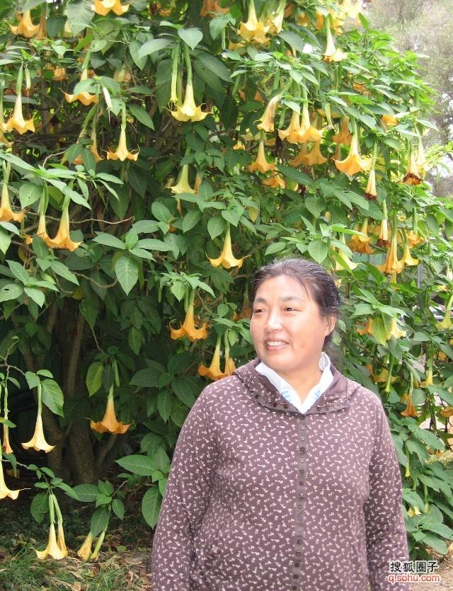 金黄色大喇叭花--曼陀罗
