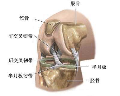 右膝盖结构图解剖图