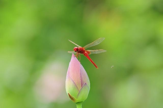 比如直升飞机就是模仿蜻蜓的形态而设计制造的