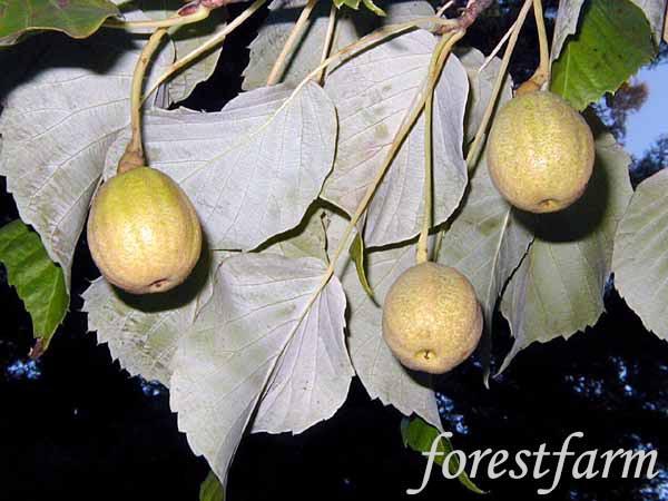 核桃树芽苞图片