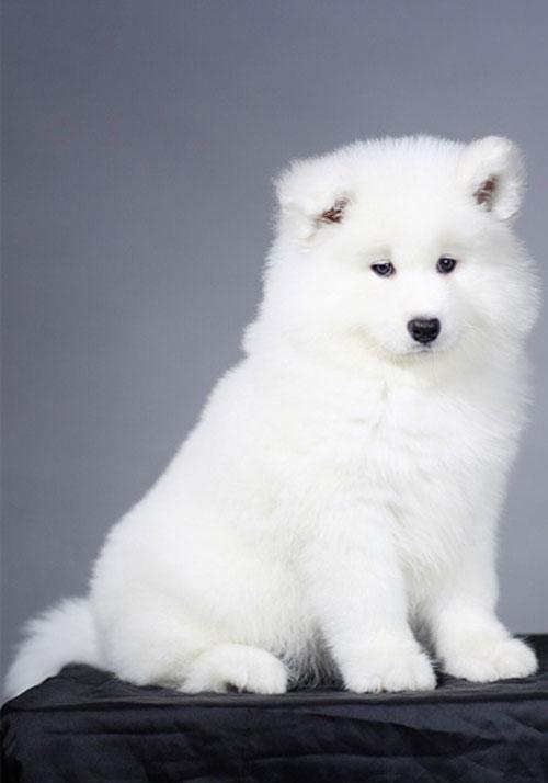快来看看它们的详细品种介绍吧:        一,萨摩耶犬   萨摩耶犬以其
