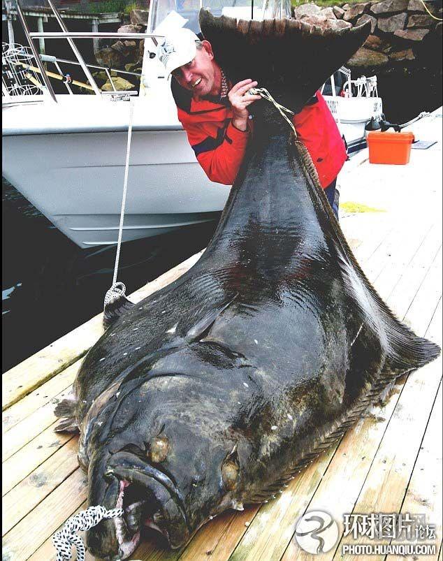 這只被捕獲的世上最大黃貂魚是世界上最大的淡水魚