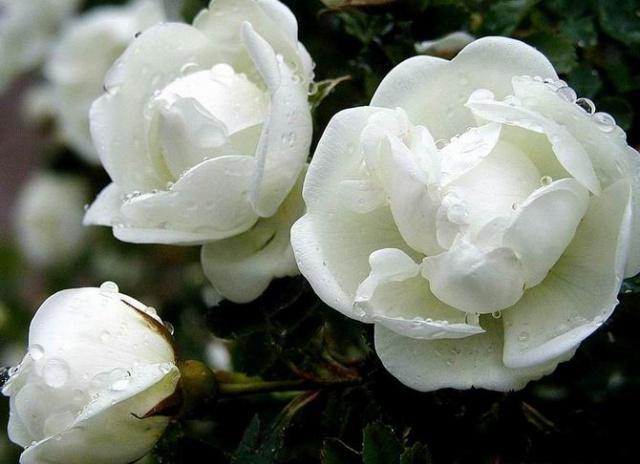养颜护肤 白色花卉很给力 Wzzf963的空间 搜狐博客