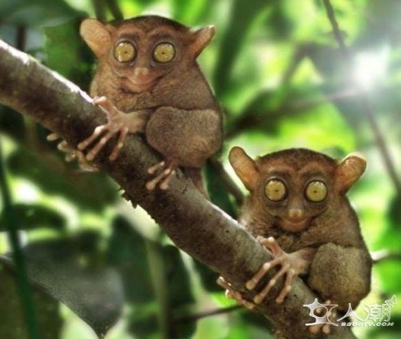 眼镜猴属灵长目眼镜猴科